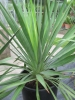 Mobile Preview: Yucca gloriosa.
