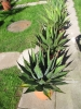 Preview: Agave montana winterhart