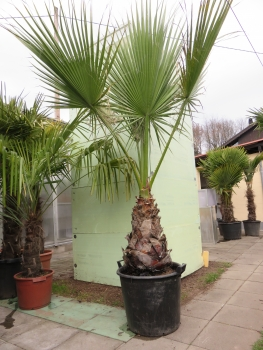Washingtonia filifera Priesterpalme-Fächerpalme