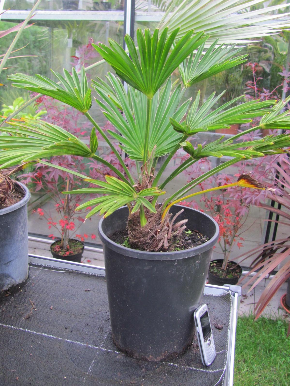 trachycarpus wagnerianus hanfpalme. Black Bedroom Furniture Sets. Home Design Ideas