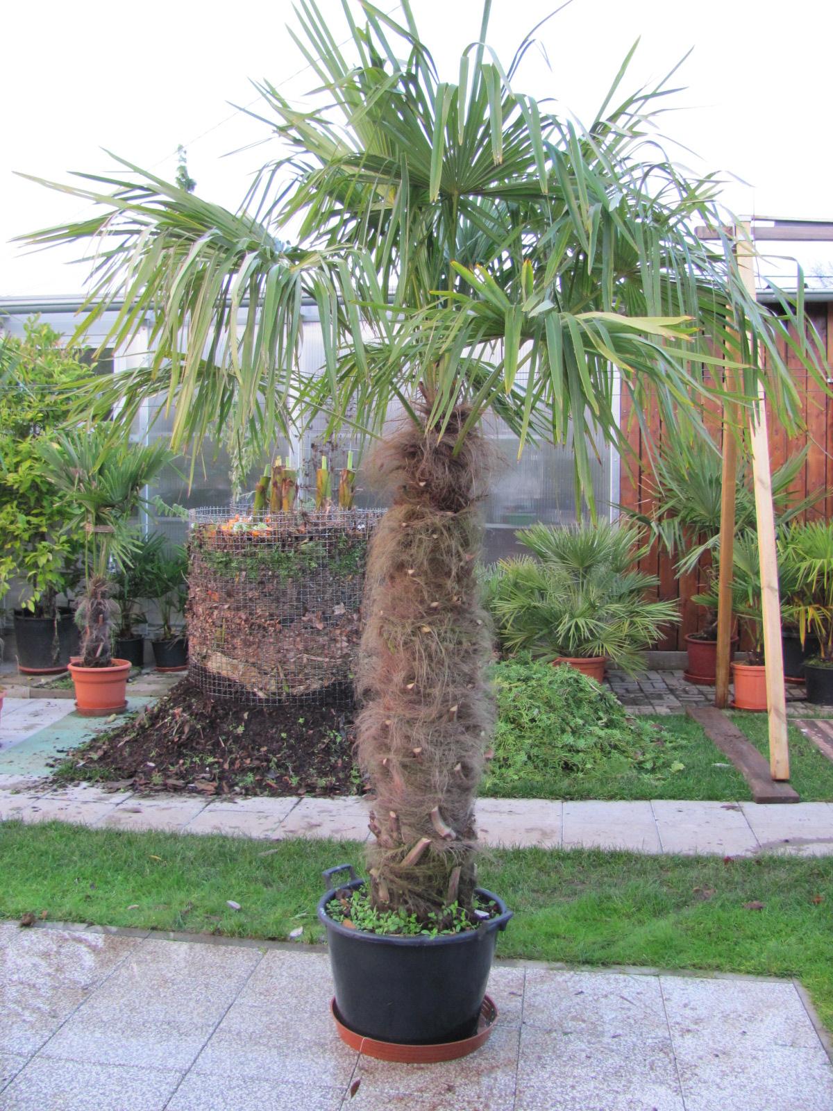 trachycarpus fortunei hanfpalme winterhart. Black Bedroom Furniture Sets. Home Design Ideas
