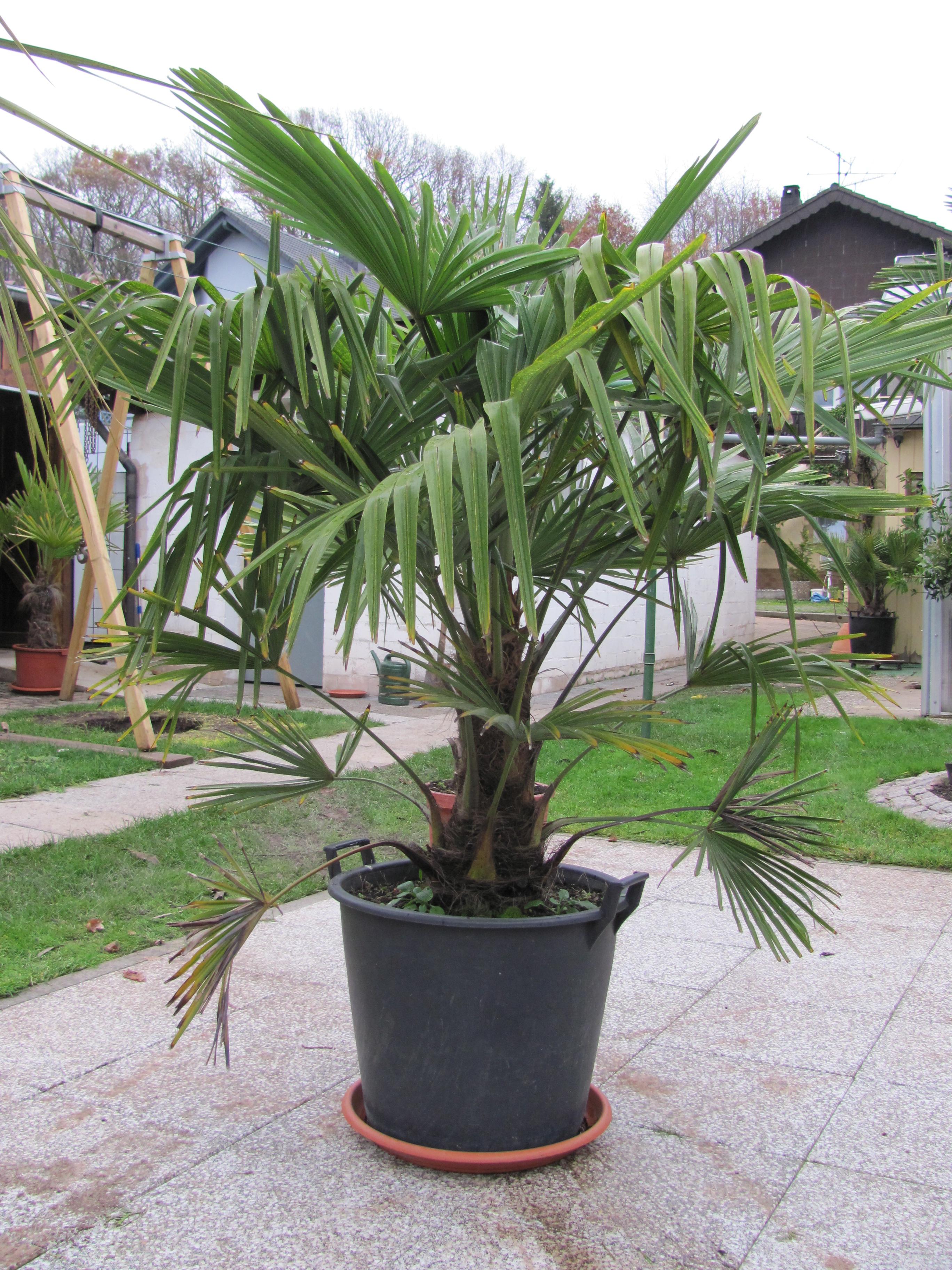 trachycarpus fortunei hanfpalme. Black Bedroom Furniture Sets. Home Design Ideas