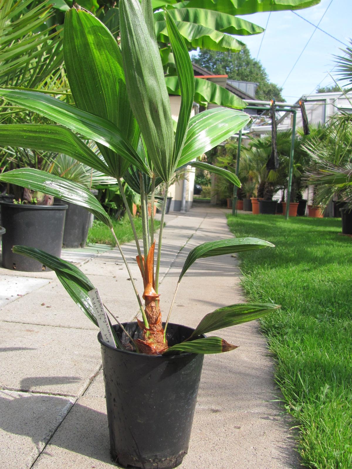 palmen winterhart rhapidophyllum hystrix. Black Bedroom Furniture Sets. Home Design Ideas