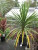 Cordyline australis green