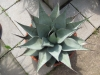 Agave neomexicana
